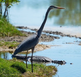Great Blue and a Friend