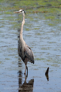 Great Blue Heron in the Shallows
