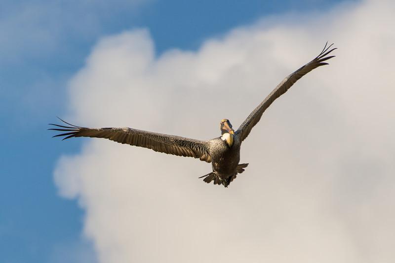 Pelican in flight, Islamorada, Florida - December 2013