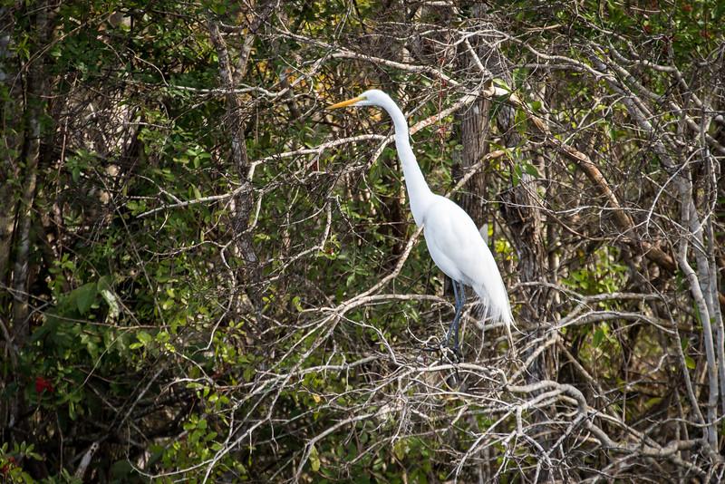 Great Egret at Big Cypress National Preserve, FL - January 2018