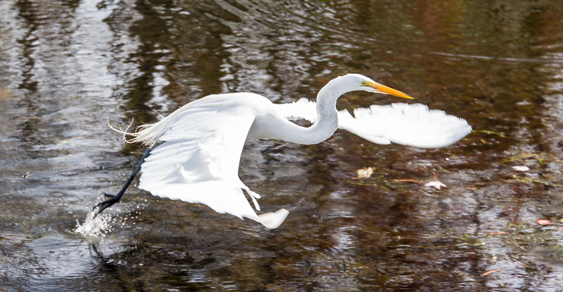 Great Egret in-flight at Big Cypress National Preserve, FL - January 2018