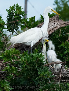 Great Egret and its three juveniles at a Florida rookery