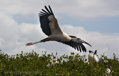 Wood Stork Over the Rookery
