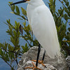 Snowy Egret against the Blue