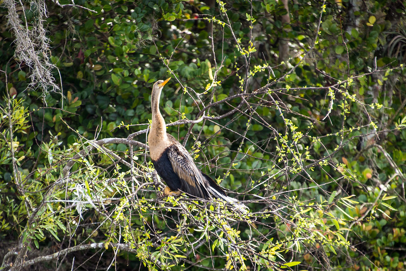 Anhinga at Big Cypress National Preserve, FL - January 2018