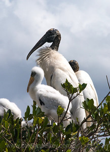 Wood Stork with Young