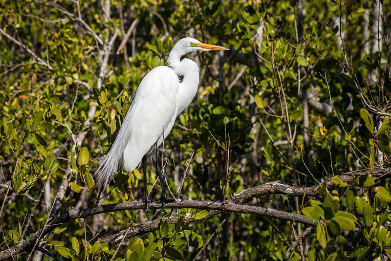 Great Egret at Gordon River Greenway Park, FL - January 2018