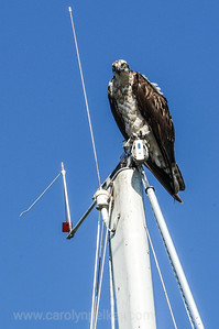 Captain Osprey on the Lookout
