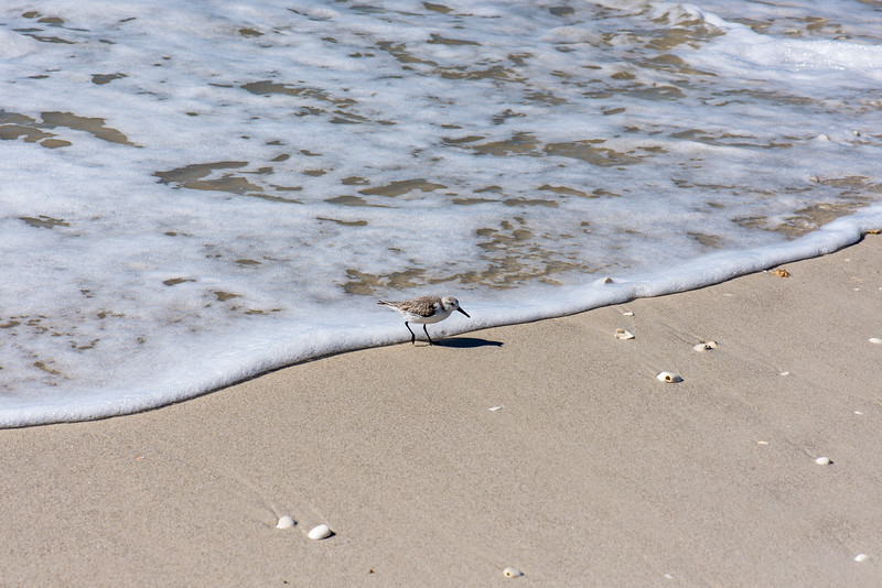 Sandpiper outrunning the surf at Clam Pass Park, Naples, FL - January 2018