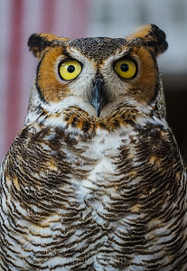 Great Horned Owl With Eye Contact!