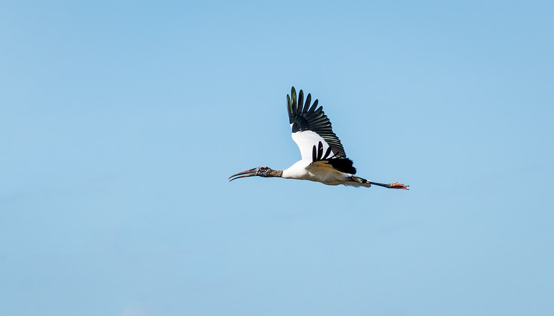 Wood Stork in-flight at Ten Thousand Islands National Wildlife Refuge, FL - January 2018