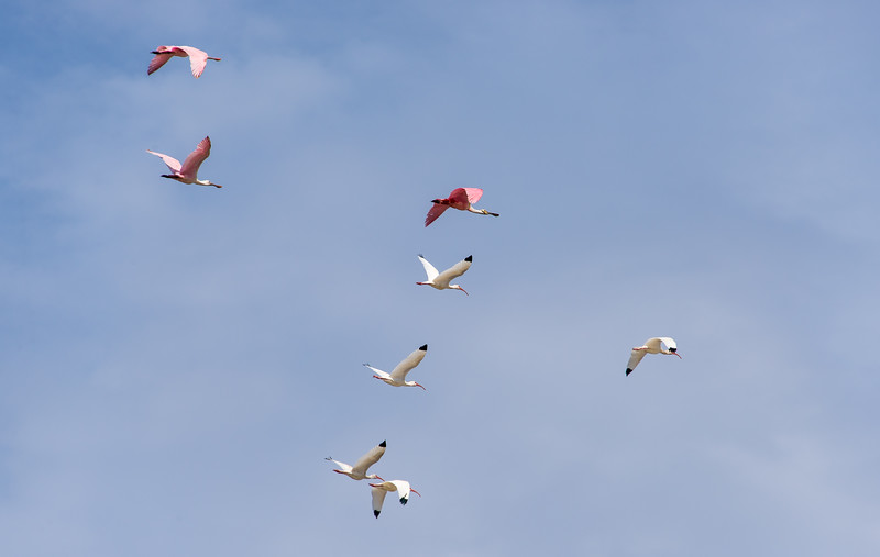 Roseate Spoonbills & White Ibis over Big Cypress National Preserve, FL - January 2018