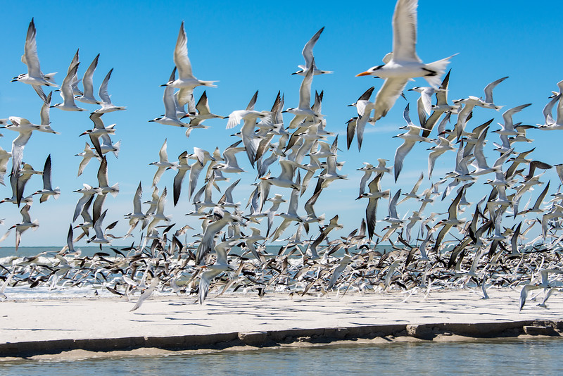 Royal Terns, Ring-Billed Gulls, Sandwich Terns & Black Skimmers in-flight at Clam Pass Park, Naples, FL - January 2018