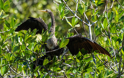 Wet feathered Anhinga Drying in the Sun