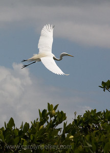 Great Egret Over the Rookery