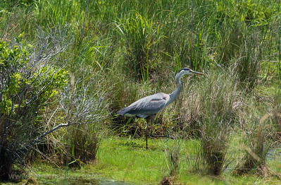 Blue Heron on the Move