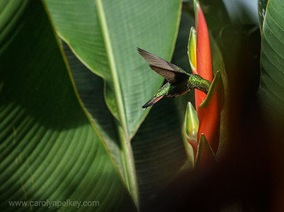 Green Flyer Hovers in the Garden