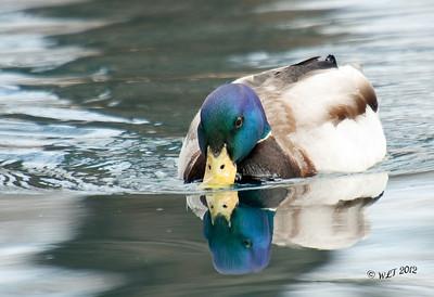 Mallard Drake on a Pond
