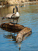 Pair of Canada Geese on a log.