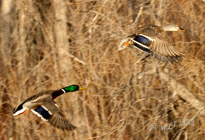 Pair of Mallards Pulling Out