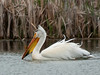 White Pelican in the Wind