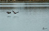 Pair of Canada Geese Take to Flight
