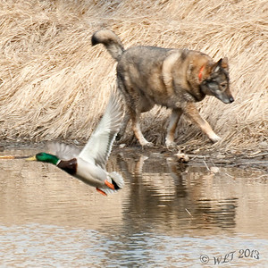 This Dog Didn't Care About the Duck