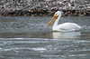 White Pelican on Yellowstone River