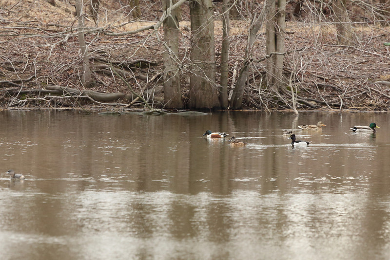 From right to left; male mallard, female mallard, female northern shoveler, male ring neck, female ring neck, male northern shoveler & out of focus in the foreground a pie billed grebe.