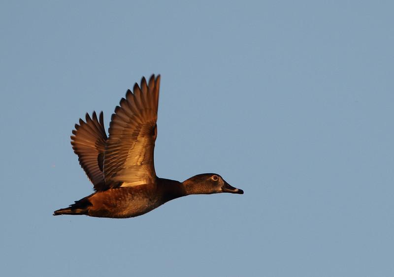 Ringneck Duck (1 of 1)