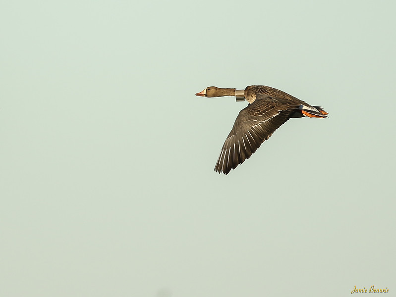 White Fronted Goose (Speckledbelly) with GPS tracker.