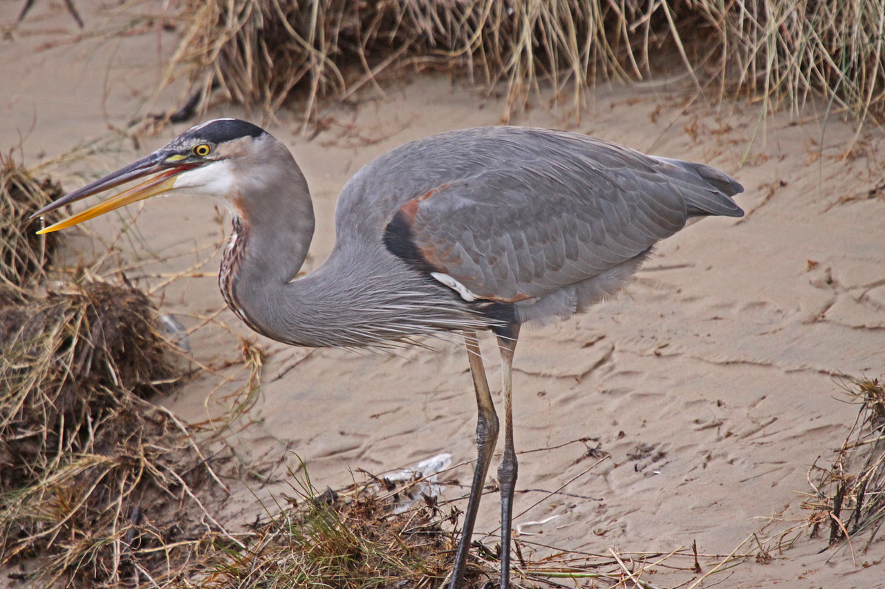 Blue Heron on the hunt after the big North Easter.