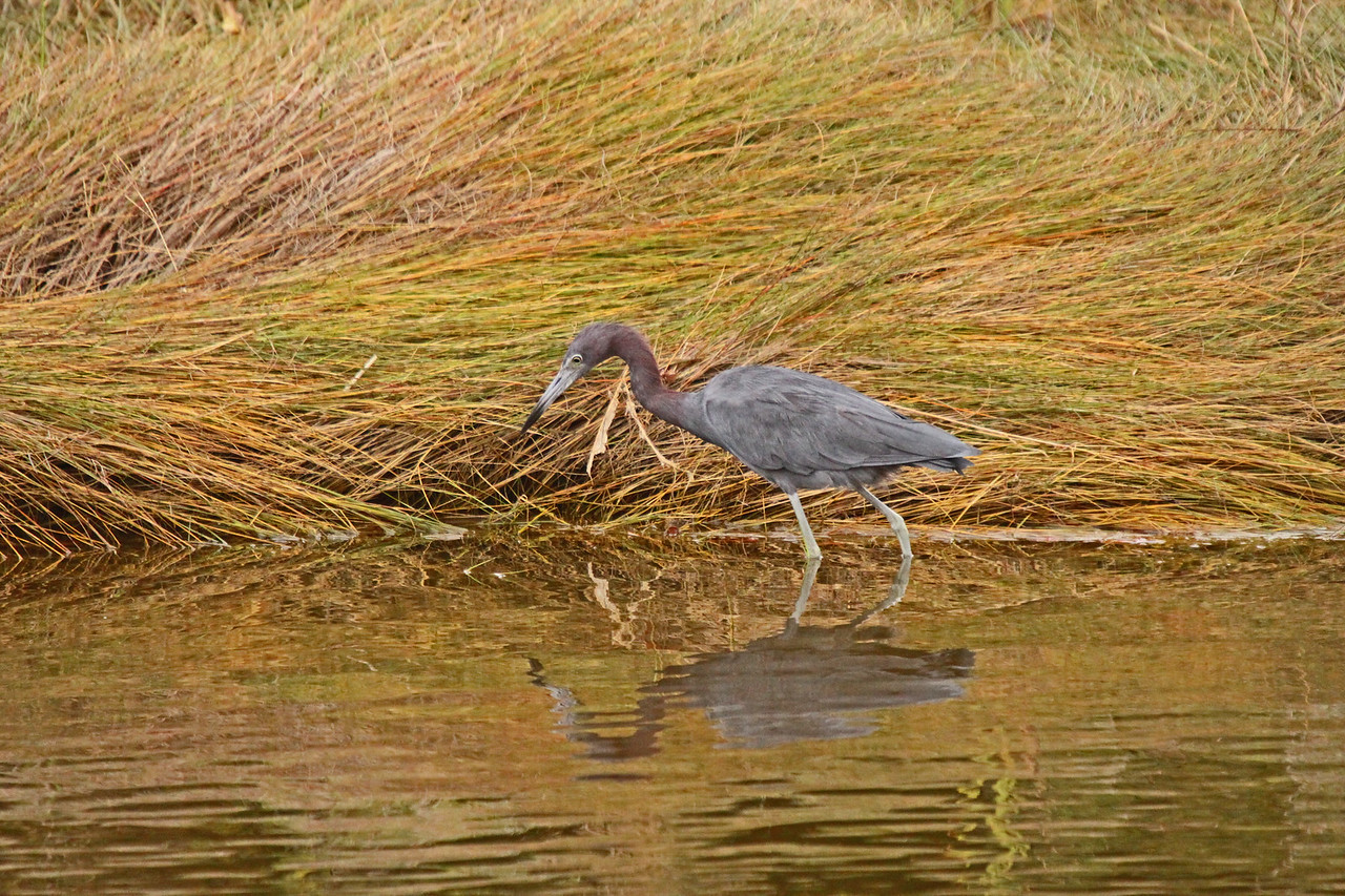 Little Blue Heron - Different breed from the Great Blue