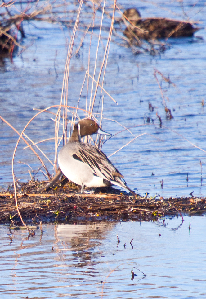 Pintail in Henricus