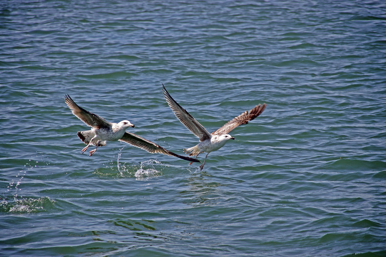 Gulls taking flight