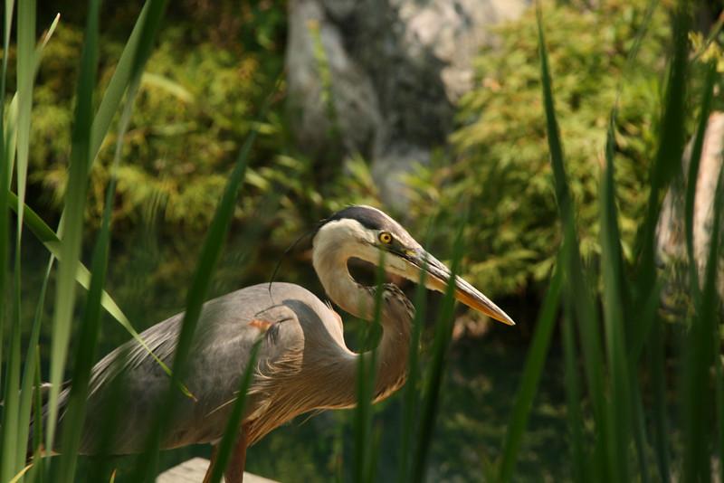 Cautious Blue Heron