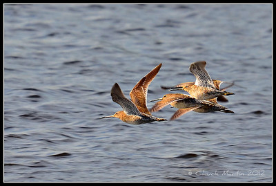 Dowitchers in flight.