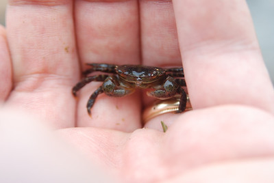 Asian shore crab, a major invasive in our area.  South Brother Island, NY.