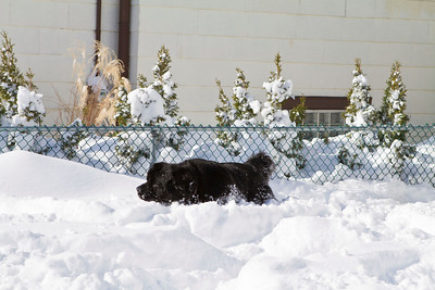 Bizzy plowing through the backyard snow.