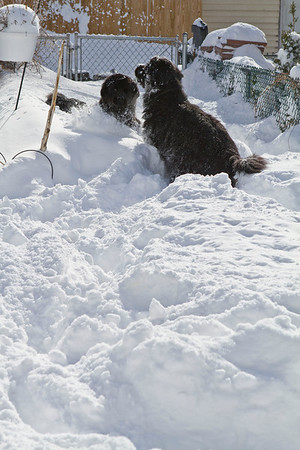 Bizzy and Watson playing in the deep snow.