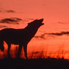 Wolf calling at Dusk --- Image by © Erwin & Peggy Bauer/Corbis
