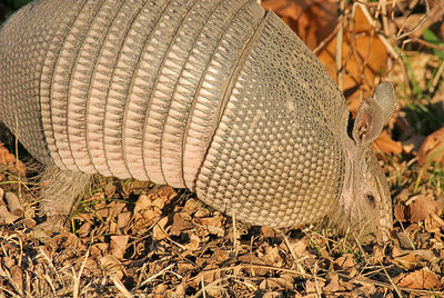 Armadillo. Taken with my 20D, and 400 f/5.6L Lens