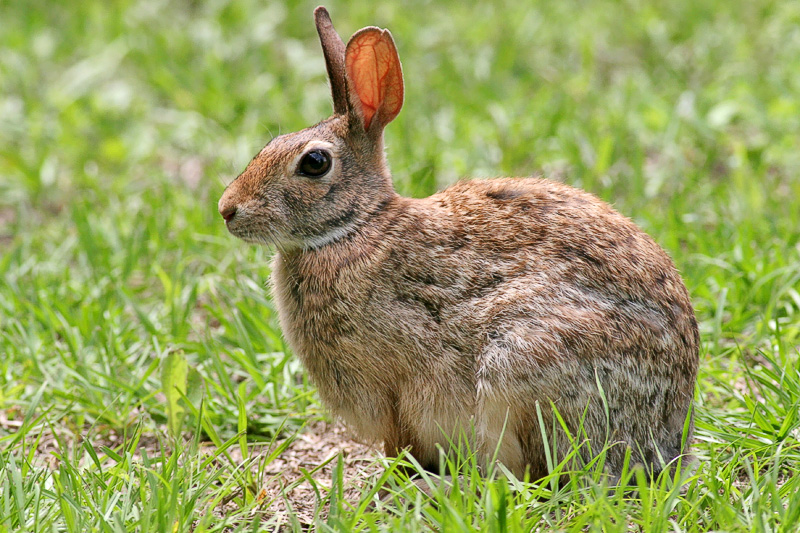 This Rabbit doesn't have a chewed up Ear. Haha!