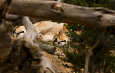 Lioness's lazing in the sun - Werribee - 2006