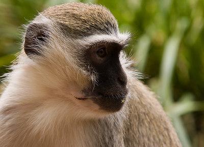 Monkey watching his mates play - Werribee - 2006