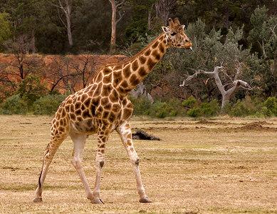 Giraffe pocking his tongue out - Werribee - 2006