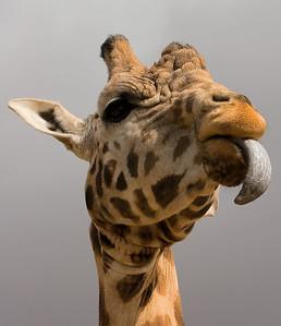 Tongue poking Giraffe - Werribee Safari - Australia 2006