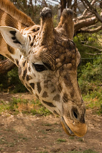 Giraffe inspecting us - Werribee Safari - Australia 2006