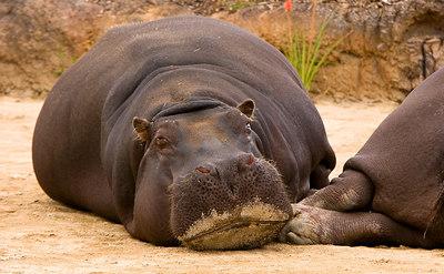 Female Hippo's sunbaking - Werribee - 2006