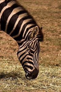 Zebra - Werribee Open Plains Zoo - Australia - 2006